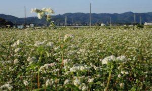 ソバの白い花と秋の青空